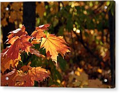 Maple Leaf Glow Acrylic Print by James Hammen