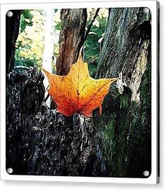 Maple Leaf Acrylic Print by Natasha Marco