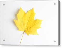 Maple Leaf Acrylic Print by Photo Researchers