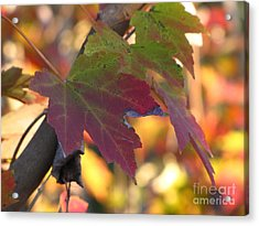 Maple Leaf Acrylic Print by Richard Nickson