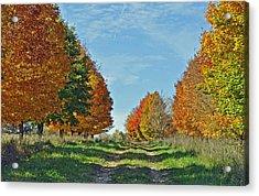 Maple Tree Lane Acrylic Print by Rodney Campbell