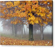 Maples In The Mist Acrylic Print