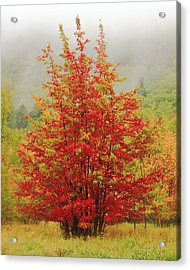 Maples In The Mist Acrylic Print by Roupen  Baker