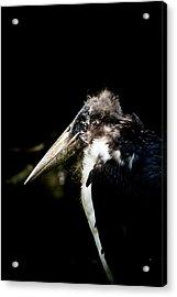 Marabou Stork Acrylic Print by Hakon Soreide