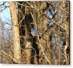 March Bluebird Acrylic Print by Neal Eslinger