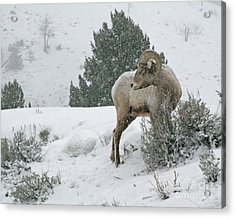 Acrylic Print featuring the photograph March Ram by Katie LaSalle-Lowery