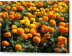 Marigold Acrylic Print by Atiketta Sangasaeng