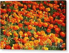 Marigold Acrylic Print by Jutta Maria Pusl
