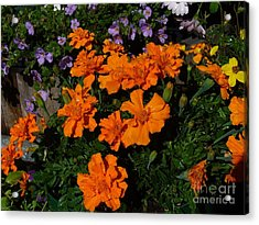 Acrylic Print featuring the photograph Marigolds by Jim Sauchyn