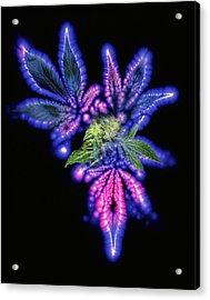 Marijuana Leaf And Bud, Kirlian Artwork Acrylic Print by Boothgarion