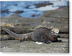 Marine Iguana Lying On Rock By Water Acrylic Print by Sami Sarkis