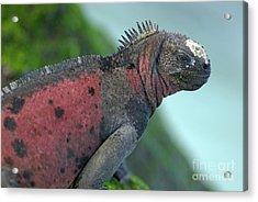 Marine Iguana On Rock Covered By Green Seaweed Acrylic Print by Sami Sarkis