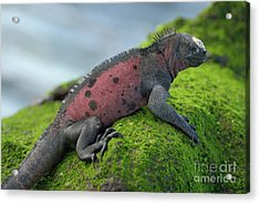 Marine Iguana On Rock Covered With Green Seaweed Acrylic Print by Sami Sarkis