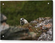 Marmot Denali National Park Acrylic Print