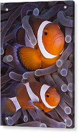 Maroon Clown Fish (premnas Biaculeatus) Amongst Sea Anemone Tentacles, Dumaguete, Negros Island, Philippines Acrylic Print by Oxford Scientific