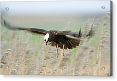 Marsh Harrier Acrylic Print by Duncan Shaw
