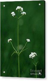 Marsh Valerian Flowers (valerian Dioica) Acrylic Print by Bob Gibbons