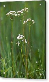 Marsh Valerian (valeriana Dioica) Acrylic Print by Bob Gibbons