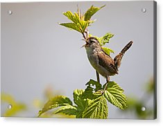 Marsh Wren Calling Acrylic Print by Terry Dadswell
