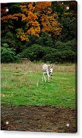 Marys Donkey Acrylic Print by LeeAnn McLaneGoetz McLaneGoetzStudioLLCcom