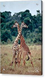 Masai Giraffes Necking Acrylic Print by Greg Dimijian