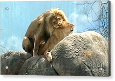 Mating Lions Acrylic Print by John From CNY