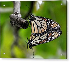 Mating Monarchs Acrylic Print by Marty Koch