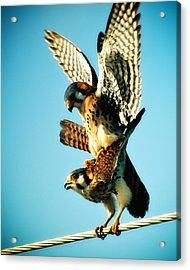 Matting Hawks Acrylic Print