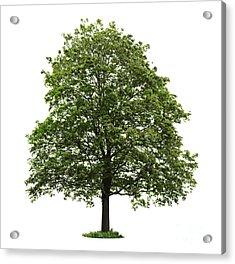 Mature Maple Tree Acrylic Print by Elena Elisseeva