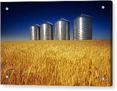 Mature Winter Wheat Field With Grain Acrylic Print by Dave Reede