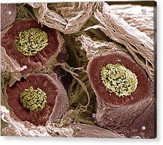 Maturing Sperm, Sem Acrylic Print by Steve Gschmeissner
