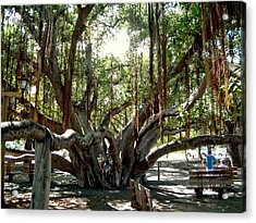 Maui Banyan Tree Park Acrylic Print by Rob Green