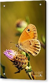 Meadow Brown Butterfly  Acrylic Print