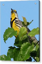 Acrylic Print featuring the photograph Meadowlark by Rebecca Overton