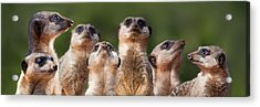 Meerkat Mob Acrylic Print by Julie L Hoddinott