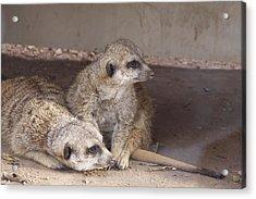 Meerkats Acrylic Print by Linda A Waterhouse