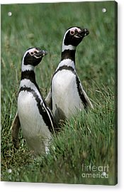Acrylic Print featuring the photograph Megellanic Penguin Couple - Patagonia by Craig Lovell