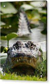 Menacing Gator Acrylic Print