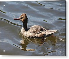 Merganser Duck Acrylic Print by Rosalie Scanlon