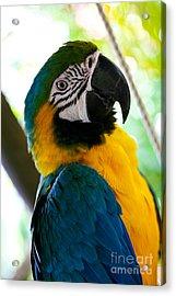 Mexican Parrot Acrylic Print by Natalia Babanova