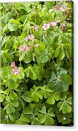 Mexican Wood-sorrel (oxalis Tetraphylla) Acrylic Print