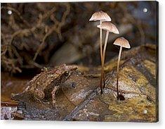 Microhylid Frog Papua New Guinea Acrylic Print by Piotr Naskrecki