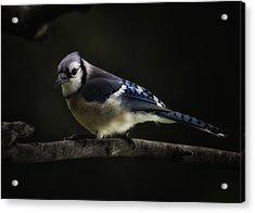 Midnight Light Blue Jay Acrylic Print by Bill Tiepelman