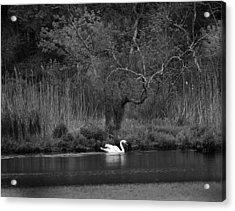 Midnight Swan Acrylic Print by Diane Giurco