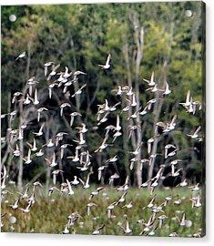 Migratory Birds - Sandpipers Acrylic Print