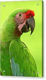 Military Macaw Ara Militaris Portrait Acrylic Print by Pete Oxford