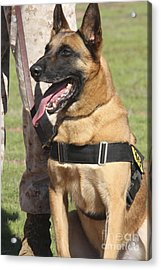 Military Working Dog Pants In The Hot Acrylic Print by Stocktrek Images