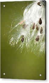 Milk Weed Seed Acrylic Print by Lisa Missenda