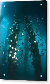 Milkfish, Dumaguete Pier, Philippines Acrylic Print by Stuart Westmorland