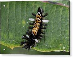 Milkweed Tussock Caterpillar Acrylic Print by Randy Bodkins